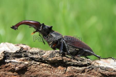 male deer beetle