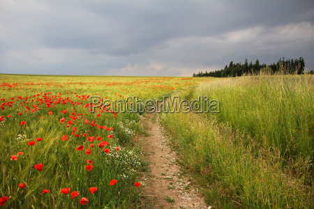 lane and poppies