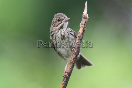 juvenile song sparrow melospiza melodia