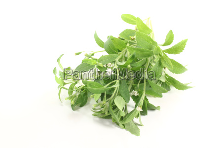 green stevia with white flowers