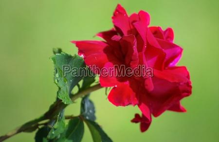 flower plant rose bloom blossom flourish