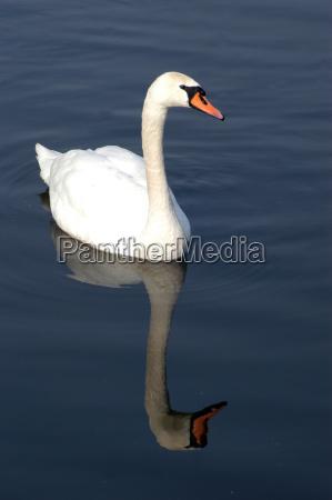 swan schwaenevogel birds animals animals
