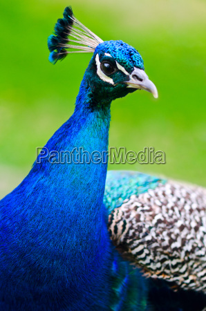 beautiful and pride peacock on a