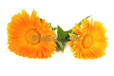 two fresh orange marigolds