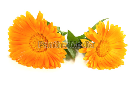 flower plant marigold medicinal plant naturopathy