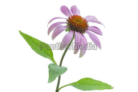 sunhat echinacea on white background