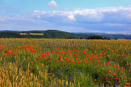 field grain field meadow scenery countryside