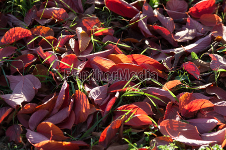 red autumn leaves in backlight