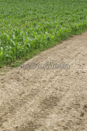 divided corn field in the springtime