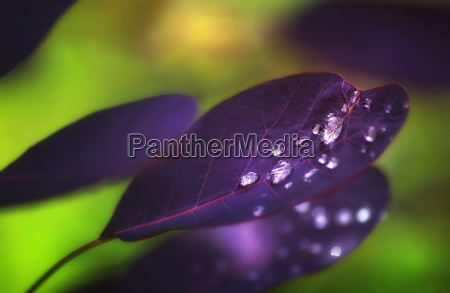 dewdrops after rain on a purple