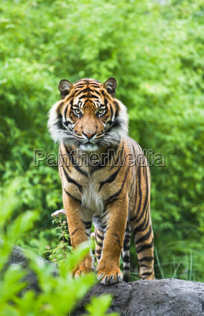 asian or bengal tiger with bamboo