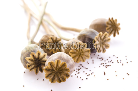 poppy seeds and poppy heads