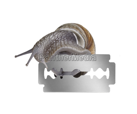 grapevine snail and razor blade