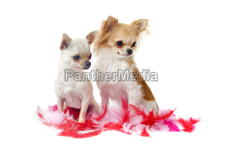 chihuahuas with pink feather