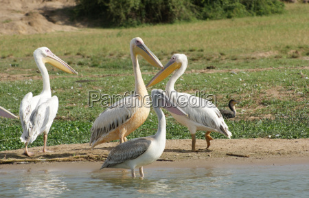 great white pelicans in africa