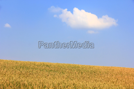 plant cloud field ears grain field