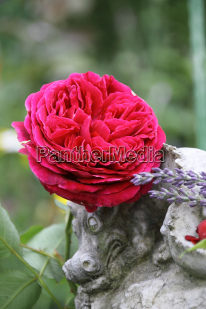 red english rose with dragon