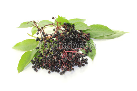fresh dark elderberries