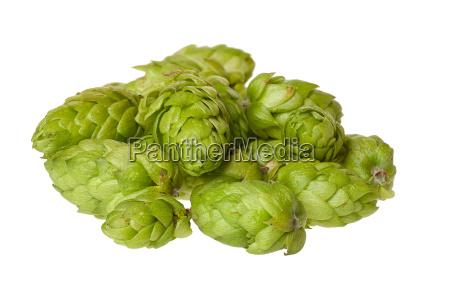 some hop umbels