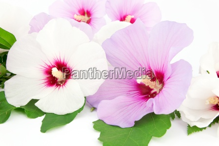 hibiscus white and violet blossom