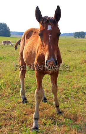 horse animal stallion foal young younger