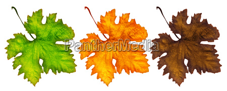 three different autumn leaves