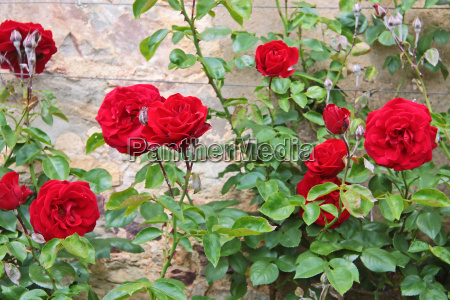 roses to old wall