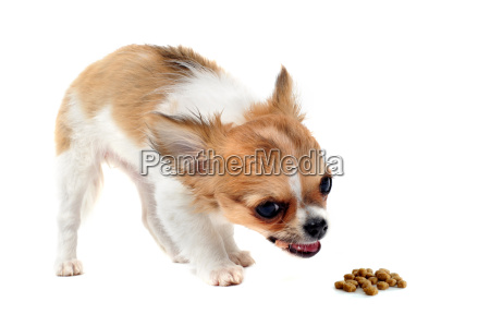 eating puppy chihuahua