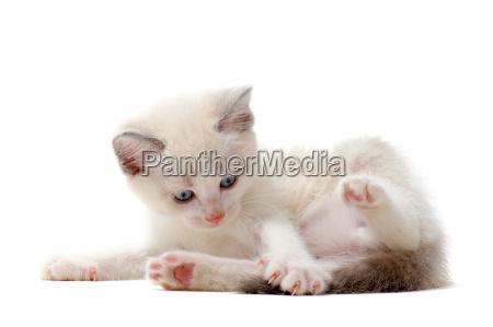 playing siamese kitten