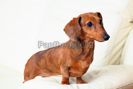 dachshund dog on sofa