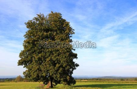 tree field oak sight view outlook