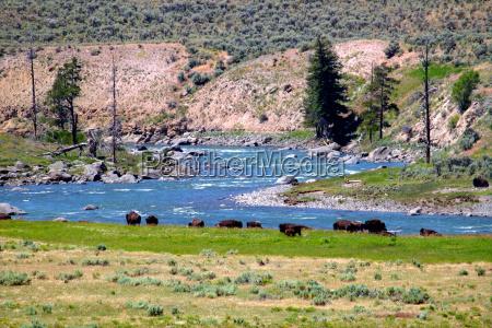 bison in lamar river valley
