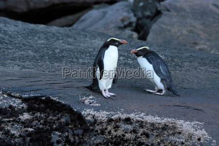 fiordland crested penguin eudyptes pachyrhynchus
