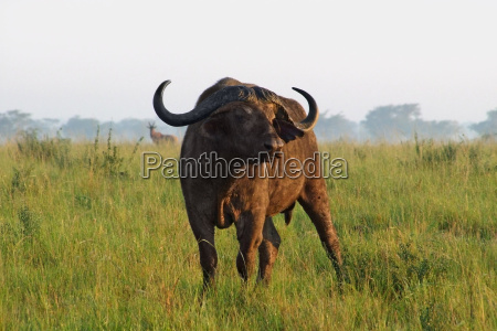 african buffalo in uganda