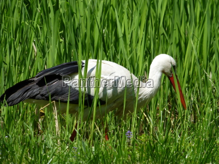 white stork ciconia ciconia on foraging