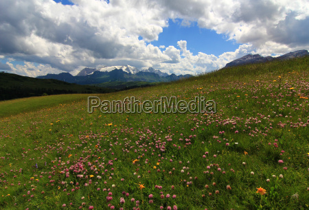 dolomites alps south tyrol flower flowers