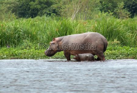 hippo calf and cow in uganda
