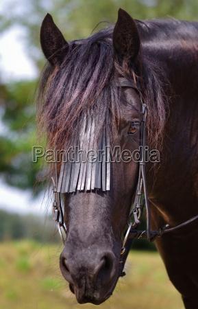 portrait of a friesian horse in