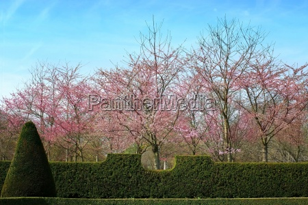 cherry blossom with conifers in parkland