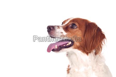 nice hunting dog isolated