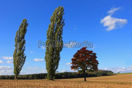 tree, trees, field, maple, poplar, meadow - 7975874