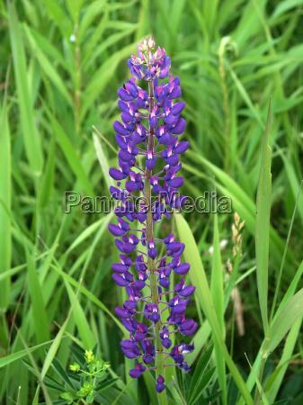 lupine flower in michigan