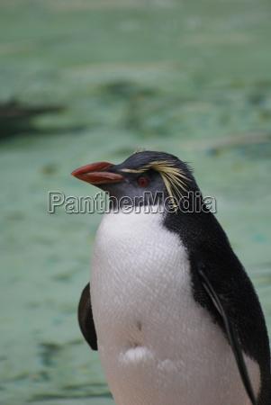 northern rockhopper penguin eudyptes moseleyi