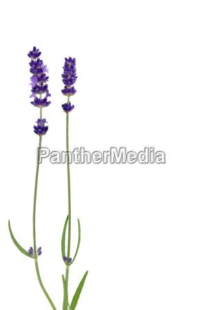 optional flower plant lavender medicinal plant