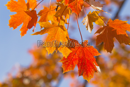 colorful background of maple leaves