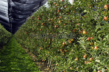 hail net plantation apple plantation was
