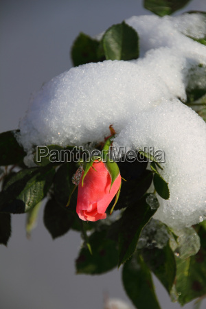pink shrub rose with snow
