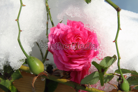 rose louise odier with snow