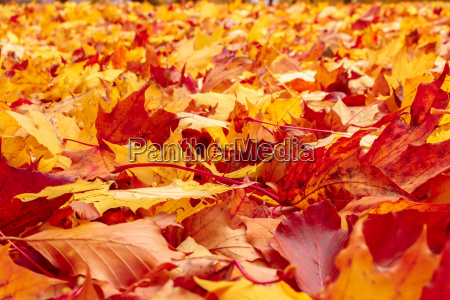 fall orange and red autumn leaves
