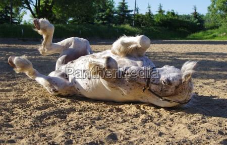 reitsport on the friesen horse in